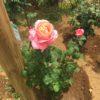 京成バラ園は5部咲きみたいです